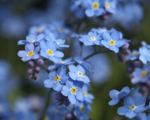 Forget-Me-Not-Flower-5